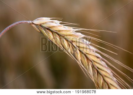 Yellow wheat on the Background of the field