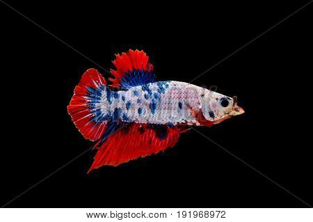 colourful betta fish with open mouth fighting fish Siamese fighting fish isolated on black background Pla-kad biting fish Thai Clipping path included