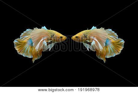two yellow betta fish fighting fish Siamese fighting fish isolated on black background Pla-kad biting fish Thai