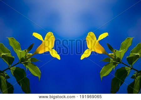 Two Yellow Allamanda Flower In Bluesky