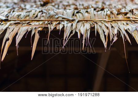 Dry yellow grass on white background (roof, thatched, grass)