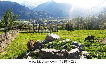 Goat in swiss Alps in Heidiland Switzerland