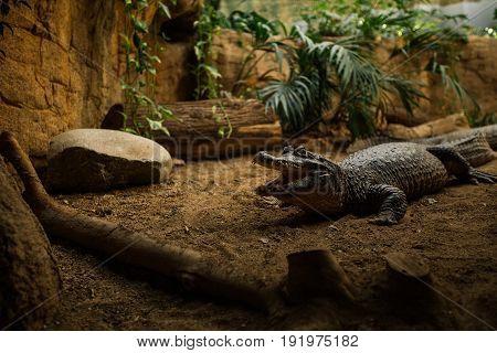 Shot of an alligator in the aquarium.