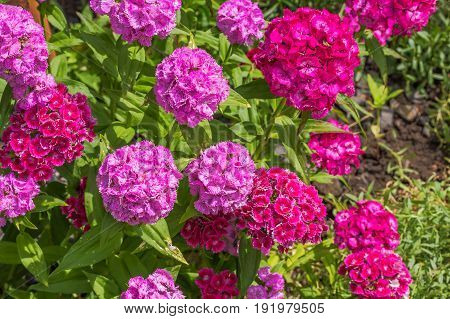 Flowers of a sweet-william on a flowerbed in a summer garden close-up