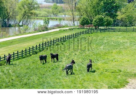 black Friesian horses in green pasture by river in Holland Michigan