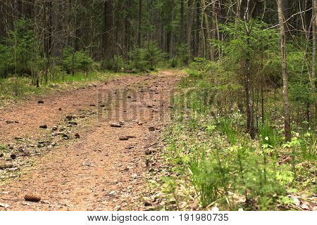 The Path In The Spruce Forest, Covered With Spruce Cones, Going Into The Distance