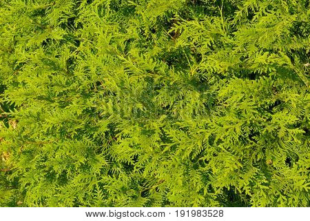 Platycladus orientalis also known as Chinese thuja Oriental arborvitae Chinese arborvitae biota or oriental thuja