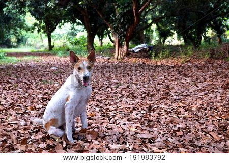 Thai puppy in the garden sitting on dry leaves.