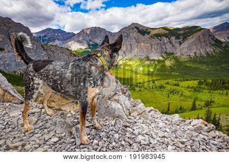 Blue Heeler dog hiking Mount John Laurie (Yamnuska) in the summertime Alberta Canada