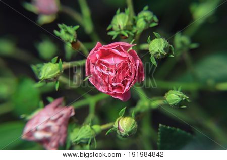 Pink Flower Bud Surrounded By Others Greens Buds