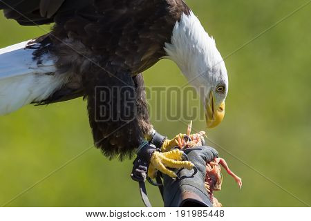 Falconry. American bald eagle (Haliaeetus leucocephalus) on a falconer's glove at bird of prey display. Close up in profile with plain green background.