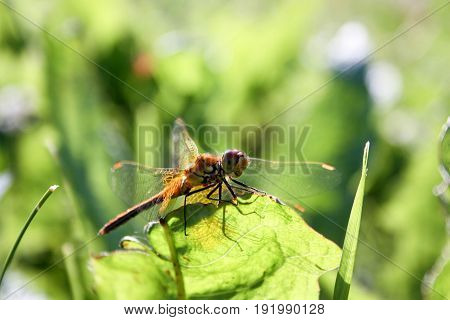 An orange dragonfly on a blade of grass. Close shooting with transparent wiry wings. On a blurred natural background. grass. Photo for your design