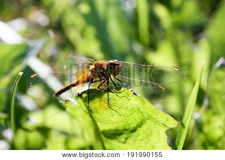 An orange dragonfly on a blade of grass. Close shooting with transparent wiry wings. Photo for your design
