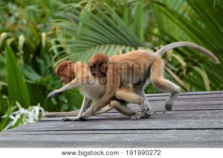 Young Proboscis monkeys playing in Labuk Bay sanctuary