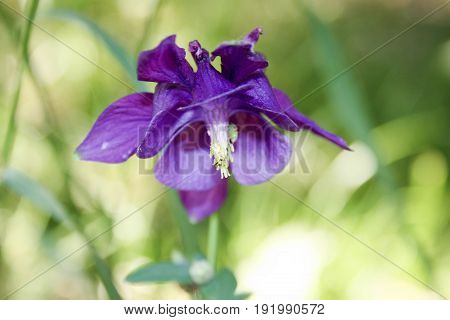 Flower violet with a tilted head. bell. . Nature is a bizarre plant. Photo for your design