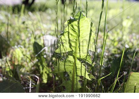 Leaf of grass in front of the sun. The nature of the quaint pattern. Photo for your design