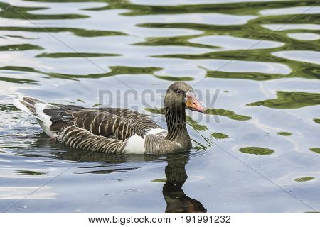 View on a beautiful Greylag Goose at the Lake. Animals in the Wild. Close-up of a floating Greylag Goose (Anser) in the Morning.