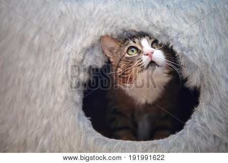 Domestic striped cat looks out of a cat's lodge.