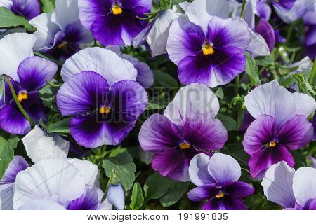 Close up of colorful violet viola flower in garden with sun light spring Italy.