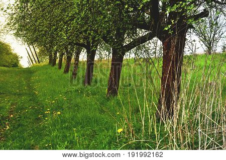 fruit trees orchard and the dirt road