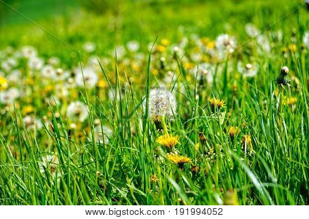 Many puff flowers on the big meadow