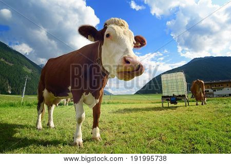 Funny cow with tongue on the grassy alpine meadow