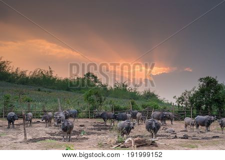 water buffalo standing in farm with dramatic sky and sun ray.