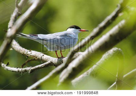 Common tern (Sterna hirundo) sitting on tree branch