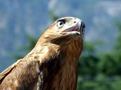 The tamed falcon on a background of Crimean mountains2 poster