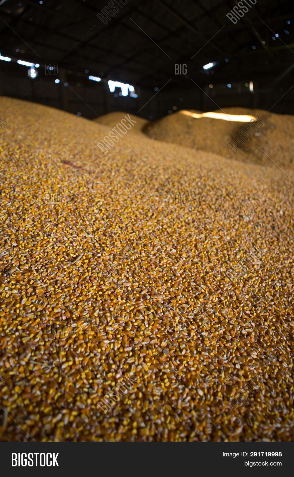 Shelter Storage Corn Image & Photo (Free Trial) | Bigstock