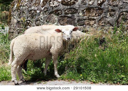 Sheep Grazing Near Stone Wall