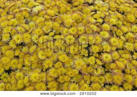 Yellow And Mauve Chrysanthemums