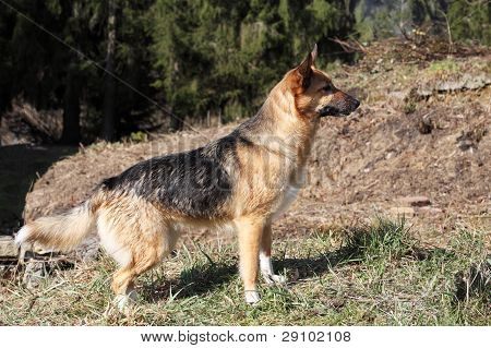 Alert Alsation Or German Shepherd
