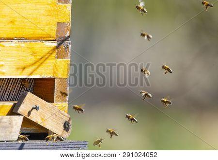 Bee Hive - Bee Breeding (apis Mellifera) Close Up