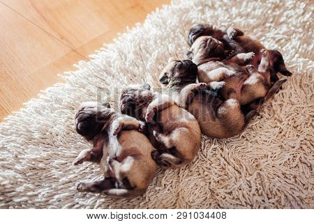 Five Pug Dog Puppies Sleeping On Carpet At Home. Little Puppies Lying Together On Their Backs Nappin