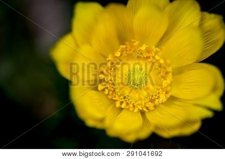 Detail Of Adonis Vernalis In Bloom. Close-up Blossom Detail. Beautiful Yellow Blooming Pheasants Eye
