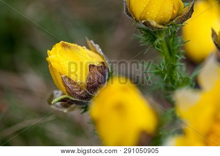Detail Of Adonis Vernalis Almost In Bloom. Close-up Blossom Detail Of Two Flowers. Beautiful Yellow
