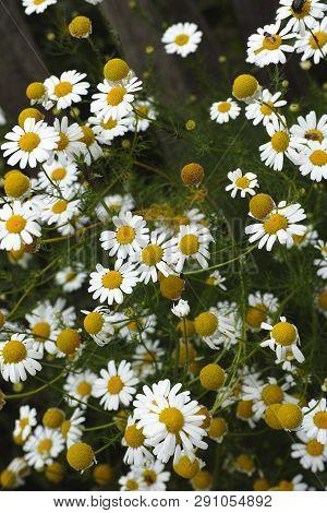 White Camomile Flowers In Nature. Non Urban Scene