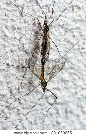 mosquito mating instinct of reproduction and procreation poster