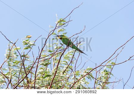 The Blue-cheeked Bee-eater (merops Persicus). A Bird Is Sitting On A Branch Of A Tree, On A Backgrou