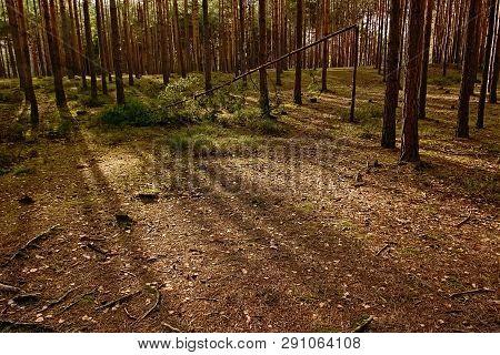 Sunset In Pine Forest Near Machovo Jezero Lake In Czech Tourist Region Of Machuv Kraj