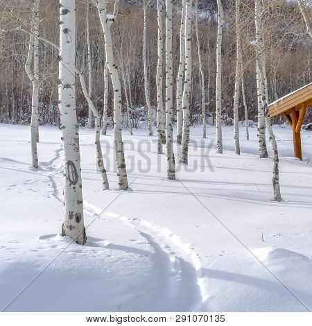 Quaking Apens On Snowy Mountain In Park City Utah