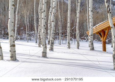 Quaking Aspens And Sunlit Snow At A Ski Resort