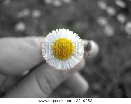 Daisy On The Black And White Background