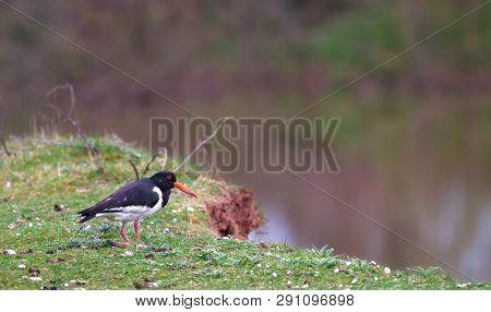 A Eurasian Oystercatcher (haematopus Ostralegus) Rests On A Grassy Ledge Near A Pond At The Wood Lan