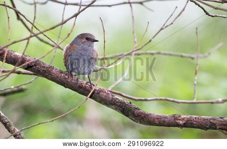 An Adult Dunnock (prunella Modularis) Perches On A Tree Branch At The Wood Lane Nature Reserve In Sh