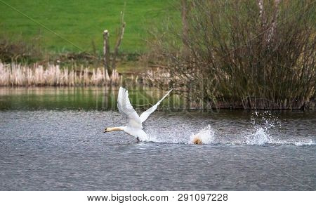 A Mute Swan (cygnus Olor) Takes Off From Venus Pool In Shropshire, England.