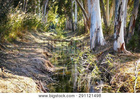Stream In The Eucalyptus Grove. Non-urban Scene.