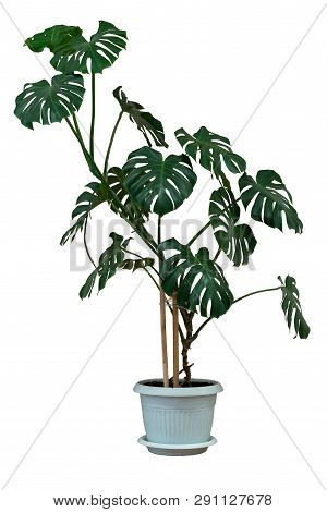 Indoor Ornamental Plants In A Flower Pot On A White Isolated Background