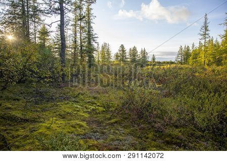 Autumn In The Tundra. Yellow Spruce Branches In Autumn Colors On The Moss Background. Tundra, Kola P